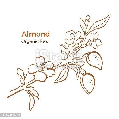 Almond. Vector botany branch on white background. Graphic nut, flower, leaves Organic milk, natural oil. Art line hand drawn sketch, vintage engrave illustration