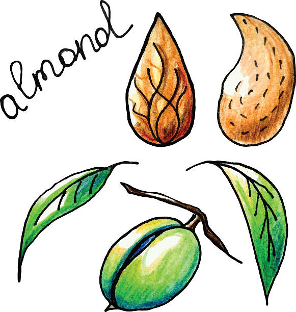 almond - paleo diet stock illustrations, clip art, cartoons, & icons