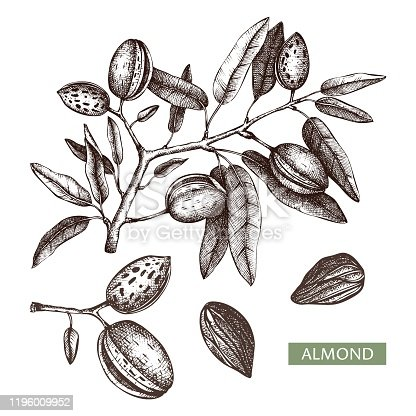 Almond vector illustrations. Hand drawn food drawing. Nut trees sketches collection. Organic vegetarian product. Perfect for recipe, menu, label, packaging, Vintage set with nuts, leaves, branches.