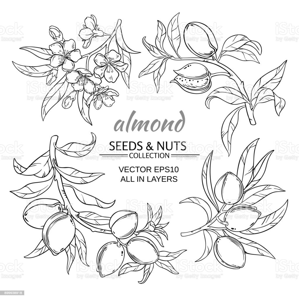 almond vector set vector art illustration