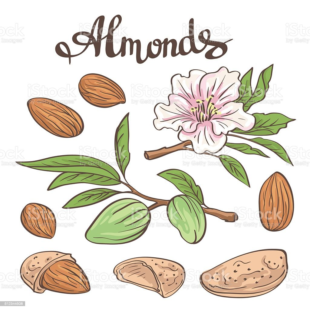 Almonds with kernels, leaves and flower. Vector illustration. vector art illustration