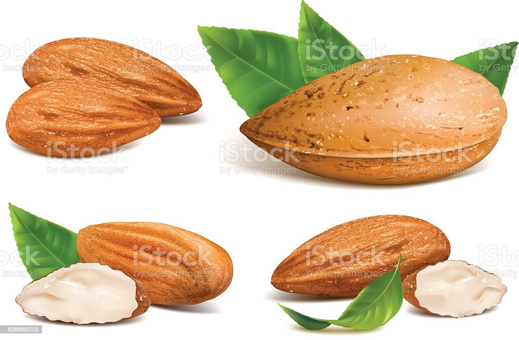 royalty free almond clip art vector images