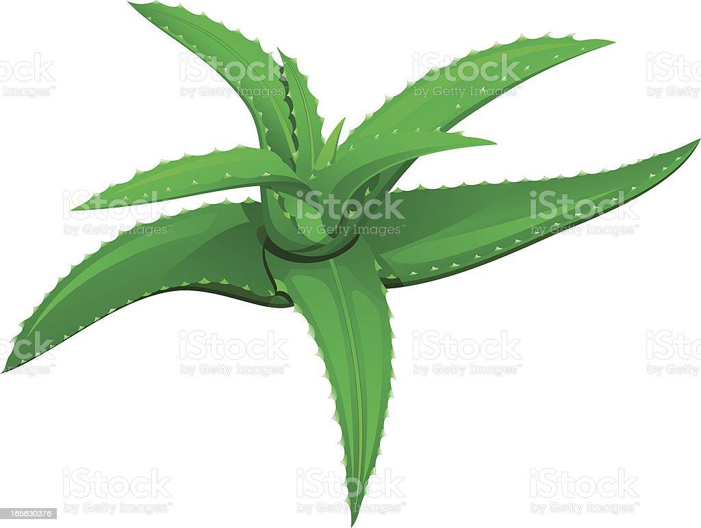 Aloe royalty-free stock vector art