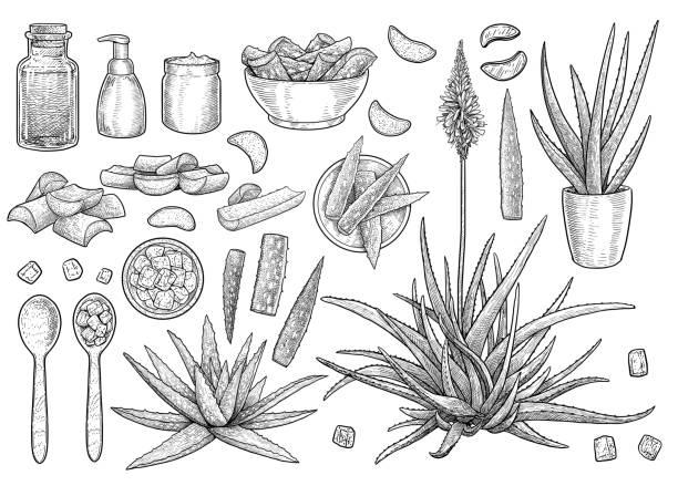 Aloe vera collection, illustration, drawing, engraving, ink, line art, vector vector art illustration