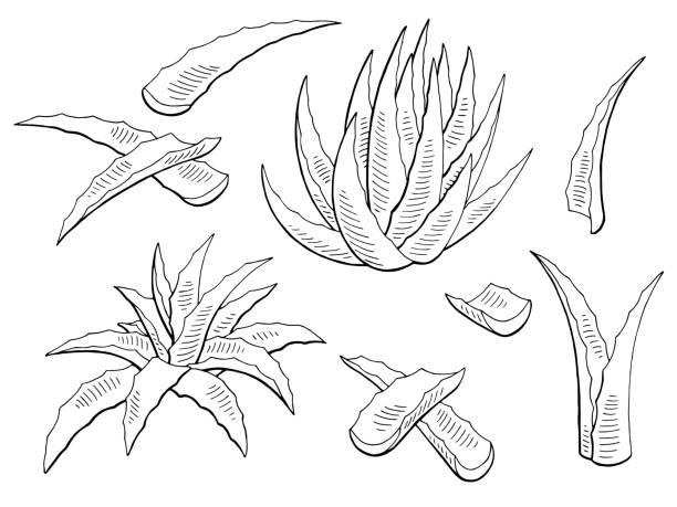 Aloe vera graphic black white isolated plant illustration vector vector art illustration