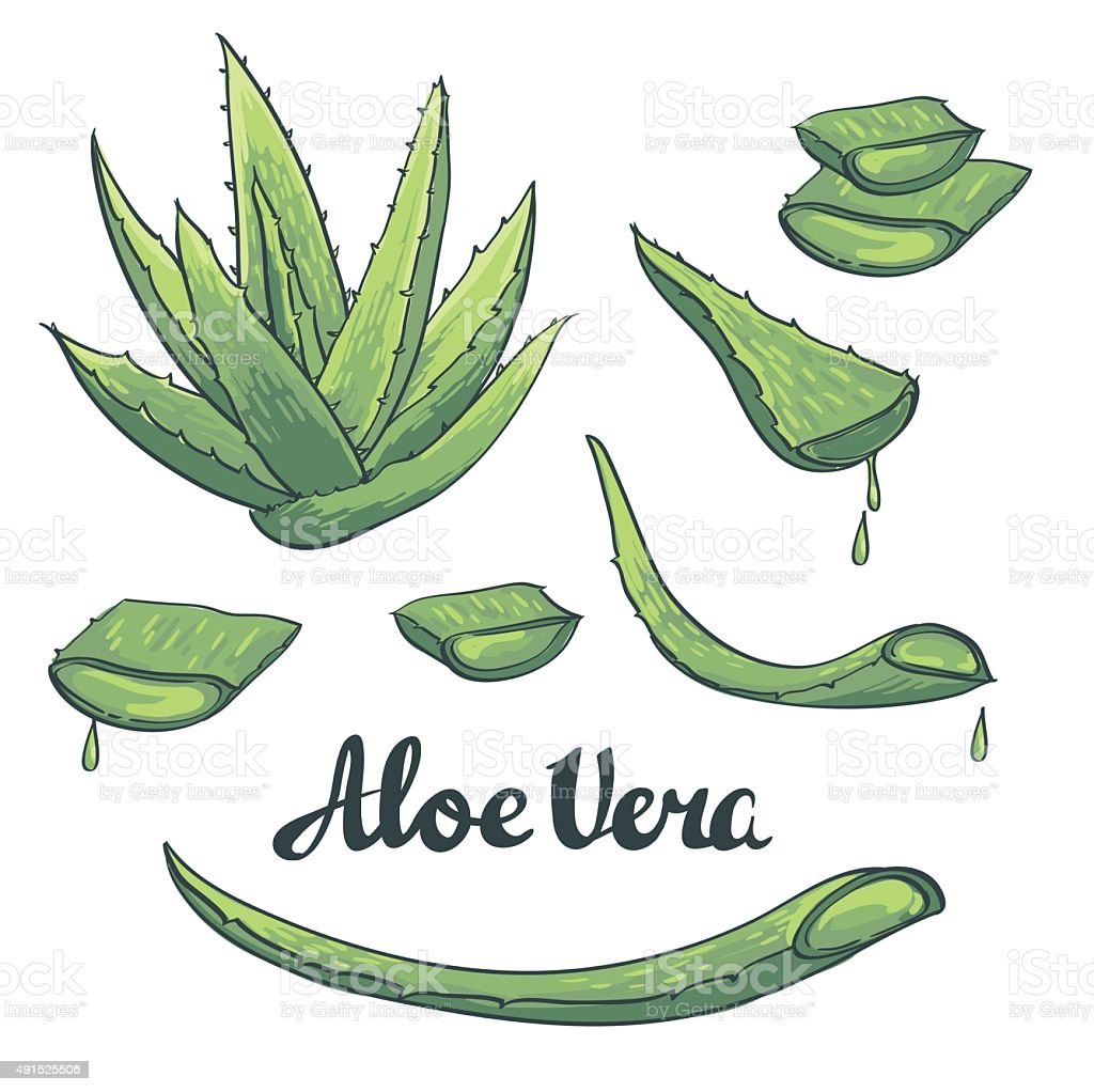 L'Aloe vera ensemble dessiné à la main. illustration vectorielle - Illustration vectorielle