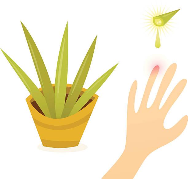 Aloe Vera - Miracle Plant vector art illustration