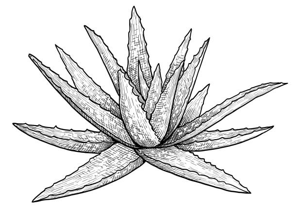 aloe vera plant illustration, drawing, engraving, ink, line art, vector - aloe vera stock illustrations