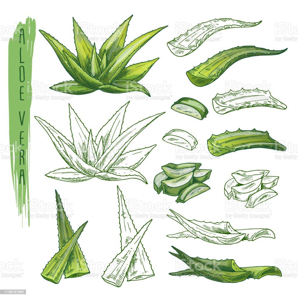 Croquis De Plantes Daloe Vera Feuille Dherbe Flore De Nature