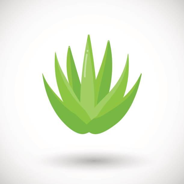 Aloe vera plant vector flat icon vector art illustration
