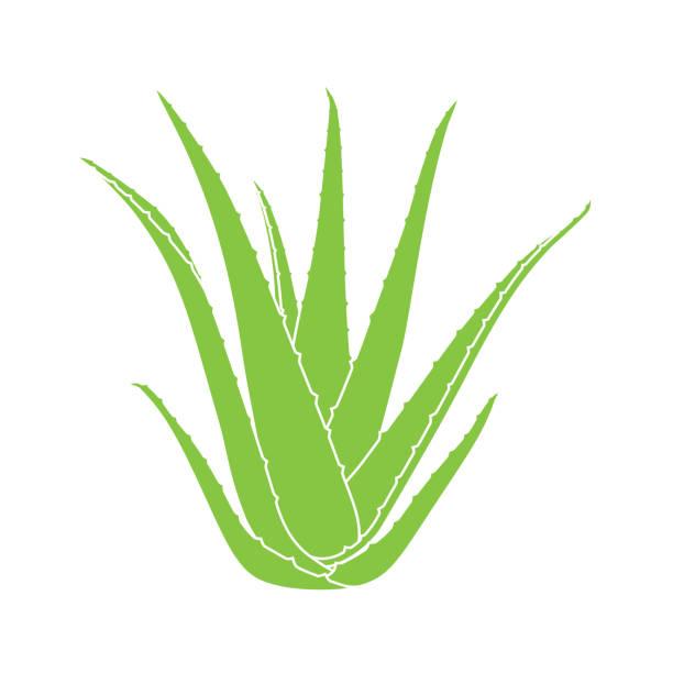 aloe vera plant - aloe vera stock illustrations