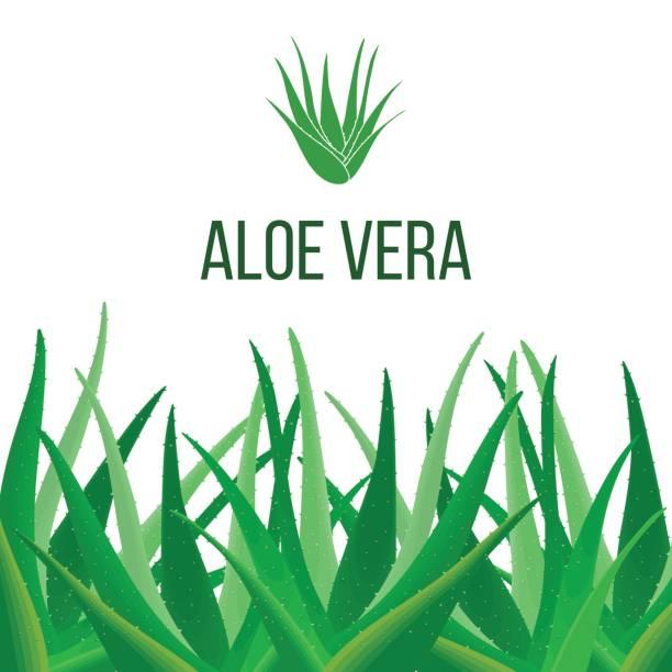 Aloe Vera poster with text. Herbal medicine vector art illustration