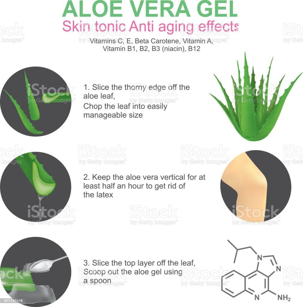 Aloe Vera. - Illustration vectorielle