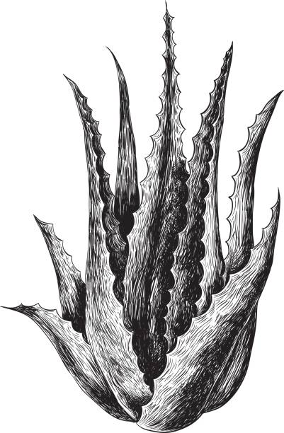 Aloe Vera vector art illustration