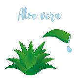 Aloe vera vector illustraton.