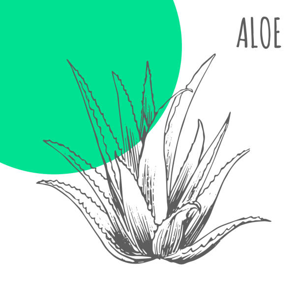Aloe Vera vector sketch botanical herb for aloe moisturizer or herbal cosmetic and medicine package vector art illustration