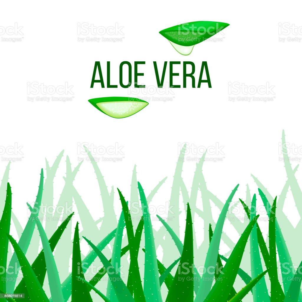 Vecteur de l'Aloe Vera. tranches et plante. L'Aloe barbadensis Mill, Star cactus, aloès, l'aloïne, Jafferabad ou Barbade - Illustration vectorielle