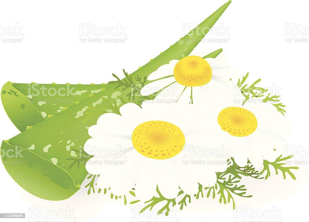 Aloe-vera and camomiles. vector art illustration