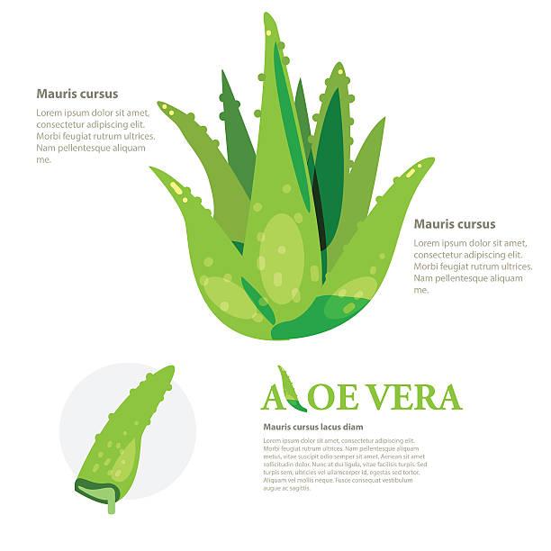 Concepto de vector Aloevera. a base de hierbas - ilustración de arte vectorial