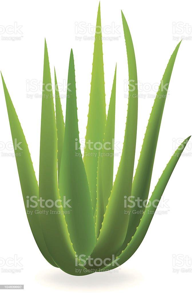 Aloe, vera. - Illustration vectorielle
