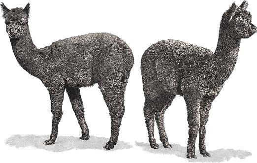 Alpaca Stock Illustration - Download Image Now - iStock