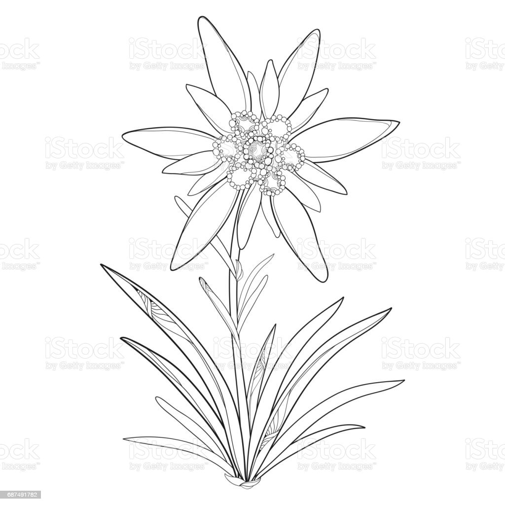 Alpine Mountain Edelweiss For Summer Design And Coloring
