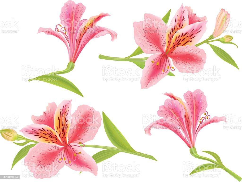 Alstroemeria - ilustración de arte vectorial