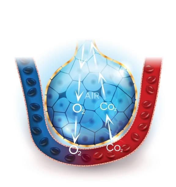 Alveoli anatomy, respiration Alveoli anatomy, oxygen and carbon dioxide exchange between alveoli and capillaries, external respiration mechanism. alveolus stock illustrations