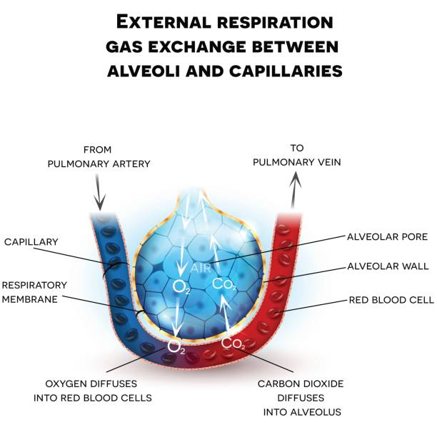 Alveoli anatomy, respiration Alveoli anatomy, external respiration gas exchange between alveoli and capillaries, with detailed description alveolus stock illustrations