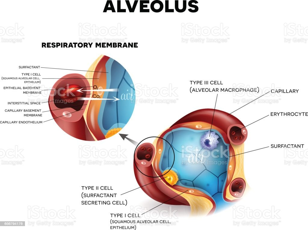 Alveoli Anatomy Respiration Stock Vector Art & More Images of ...
