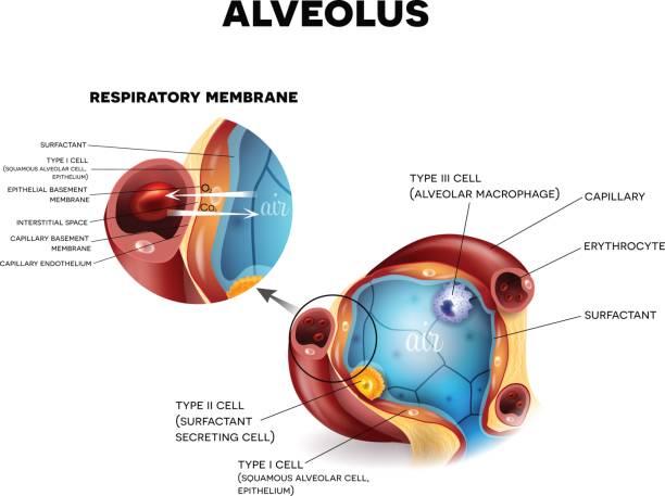 Alveoli anatomy, respiration Alveolus anatomy and Respiratory membrane of alveolus, oxygen and carbon dioxide exchange between alveoli and capillaries, external respiration mechanism. alveolus stock illustrations