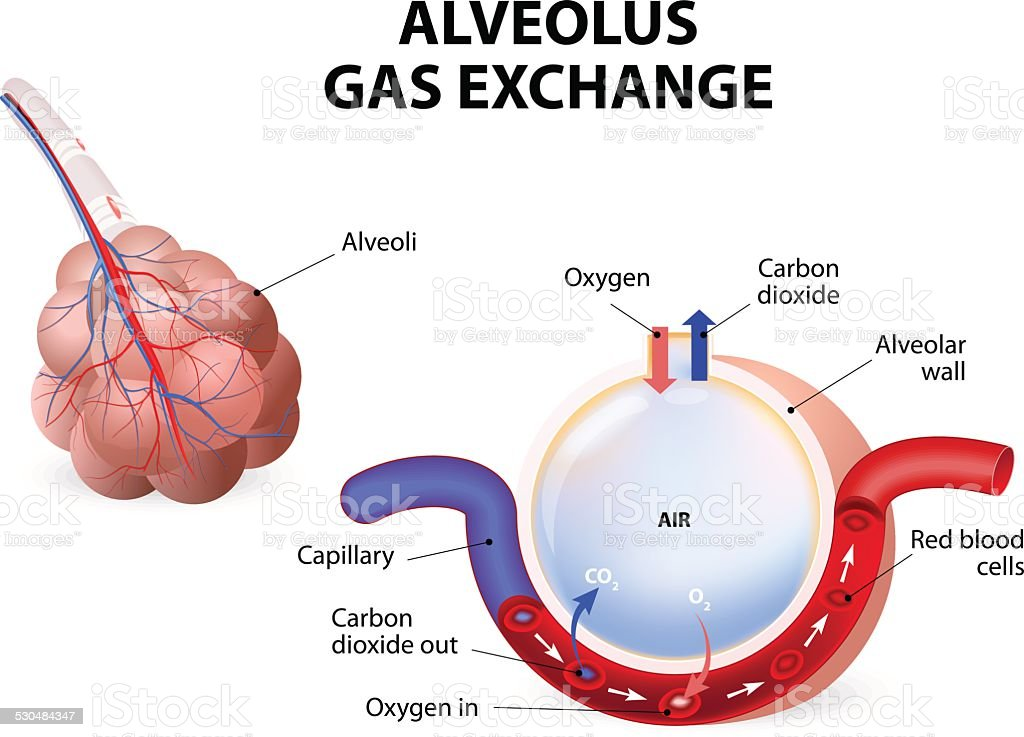 Alveolus. gas exchange vector art illustration