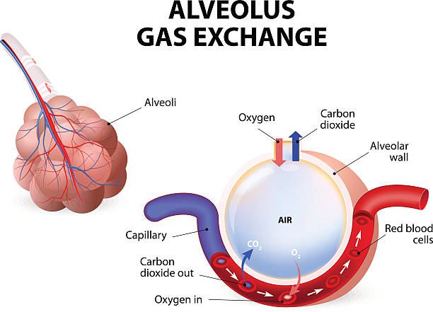 Alveolus. gas exchange Alveolus. gas exchange. Pulmonary alveolus. alveoli and capillaries in the lungs. alveolar duct stock illustrations