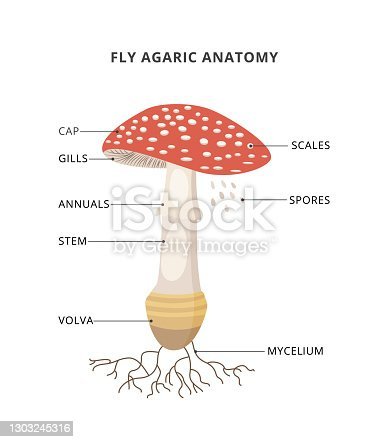 istock Amanita muscaria anatomy. Structure mushroom fly agaric with caption of parts. Bright toxic fungus with red spotted cap. Flat vector illustration isolated on a white background. 1303245316