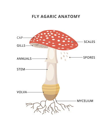 Amanita muscaria anatomy. Structure mushroom fly agaric with caption of parts. Bright toxic fungus with red spotted cap. Flat vector illustration isolated on a white background.