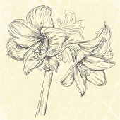 Hand drawn vector illustration of Amaryllis flowers in pen & ink style. Strokes are expanded and combined into one single shape.