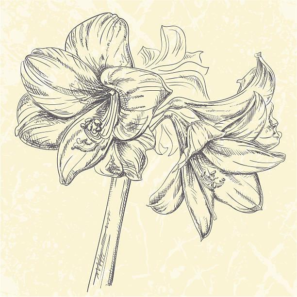 bildbanksillustrationer, clip art samt tecknat material och ikoner med amaryllis flower drawing - amaryllis