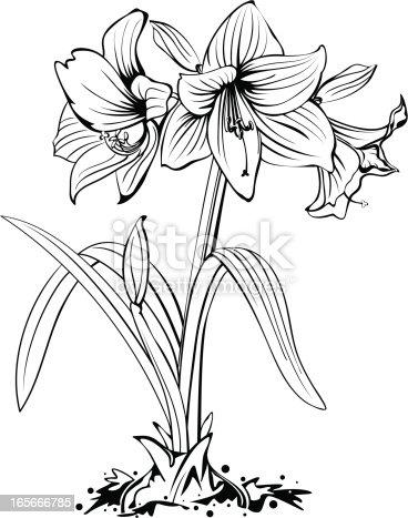 istock Amaryllis Flower Line Art 165666785