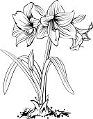 Amaryllis flower with bulb in ink drawing style.