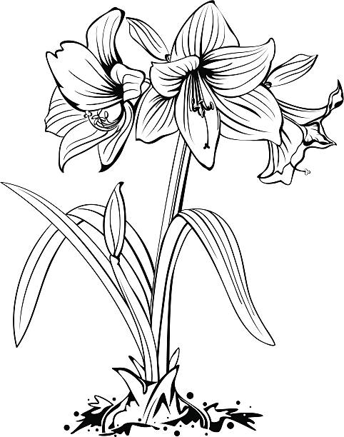 Putty Line Drawing Q : Royalty free amaryllis clip art vector images