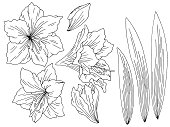 Amaryllis lily flower graphic black white isolated sketch set illustration vector