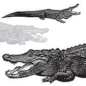 istock American alligator (Alligator mississippiensis) - vector graphic illustration. 960289580