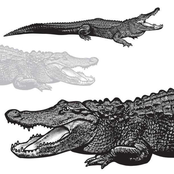 American alligator (Alligator mississippiensis) - vector graphic illustration. Black image of crocodilian reptile in engraving style isolated on white background, design element for logo or template. crocodile stock illustrations