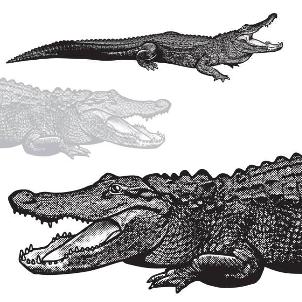 american alligator (alligator mississippiensis) - vector graphic illustration. - crocodile stock illustrations