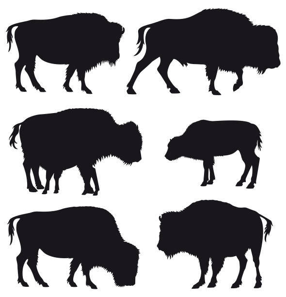 American Bison Buffallo Herd Silhouette Set Set of black vector silhouettes of American Bison / Buffalo isolated on white background. american bison stock illustrations