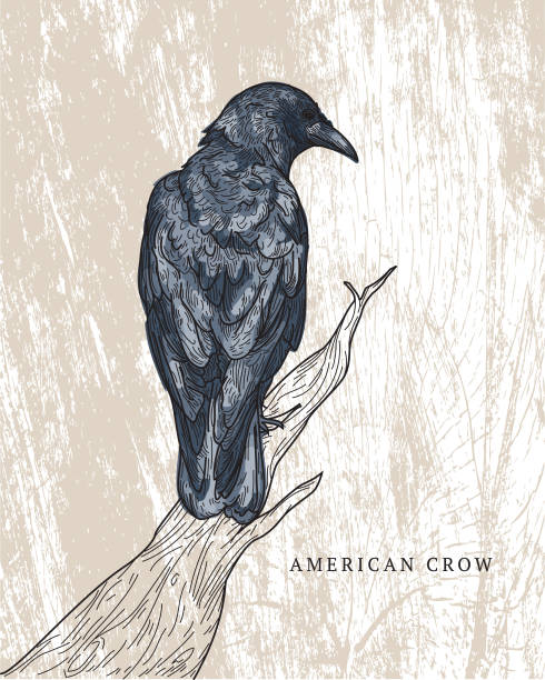 American Crow vector art illustration
