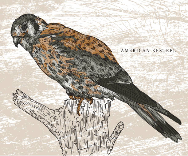 American Kestrel vector art illustration
