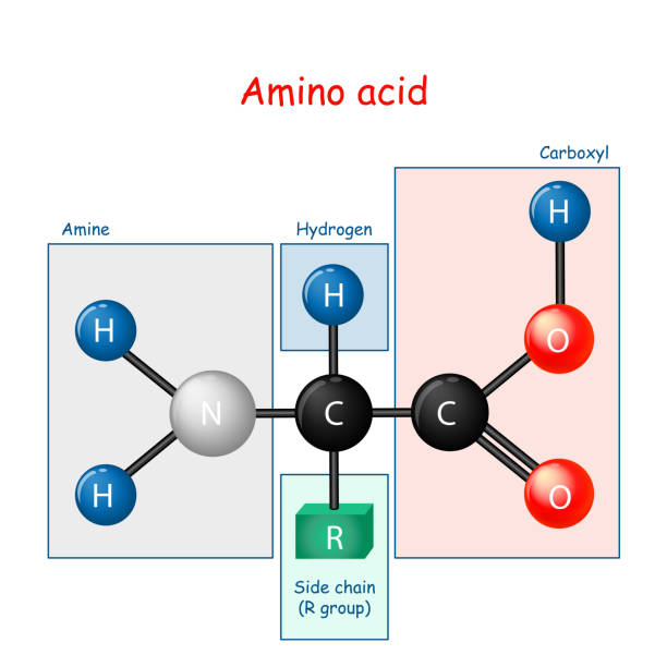 Amino acid. structural formula and model of molecule Amino acid. structural formula and model of molecule. Vector diagram for educational and scientific use amino acid stock illustrations