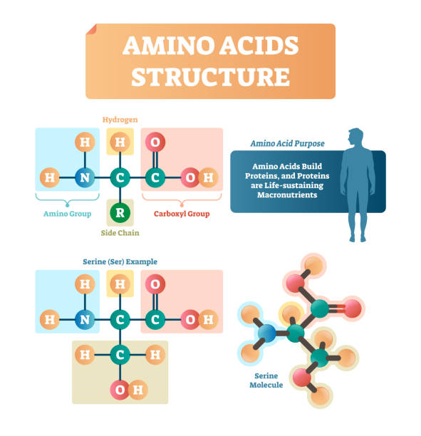Amino acids structure vector illustration. Serine molecule diagram. Amino acids structure vector illustration. Labeled example of Serine molecule diagram. Closeup with hydrogen, side chain and carboxyl group. Protein builders that are life sustaining macronutrients. amino acid stock illustrations