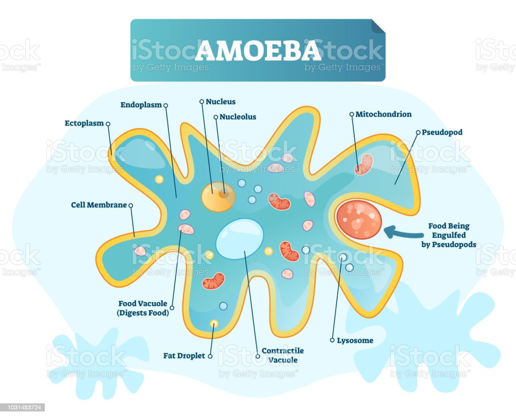 Amoeba Labeled Vector Illustration Single Cell Animal Structure ...